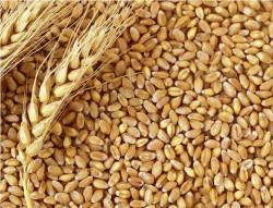 Getreide - Getreide Güvercin Buğdayı 25 Kg